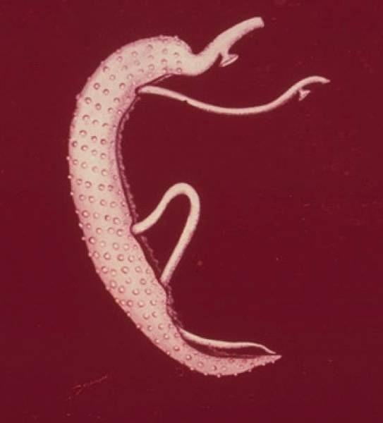 szarvasmarha szalagféreg típusú férgek giardia life cycle in humans