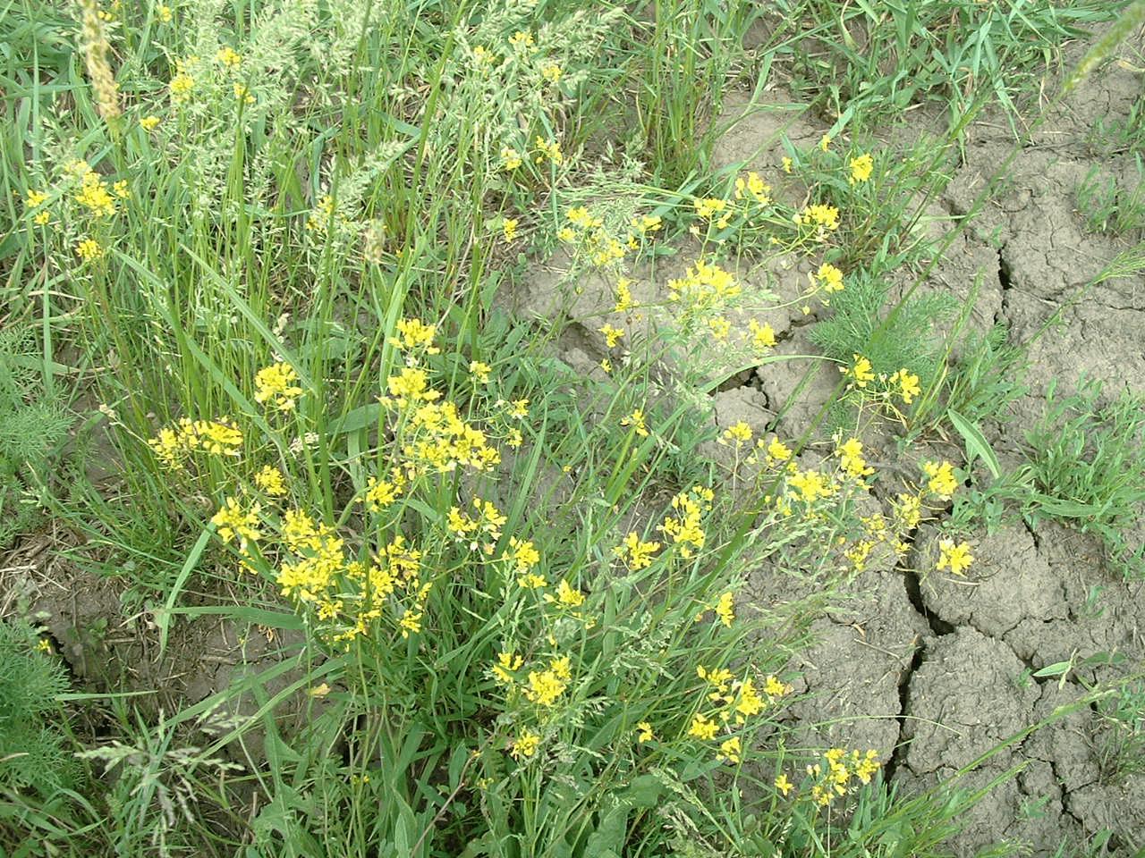 gyomnövényes sárga)