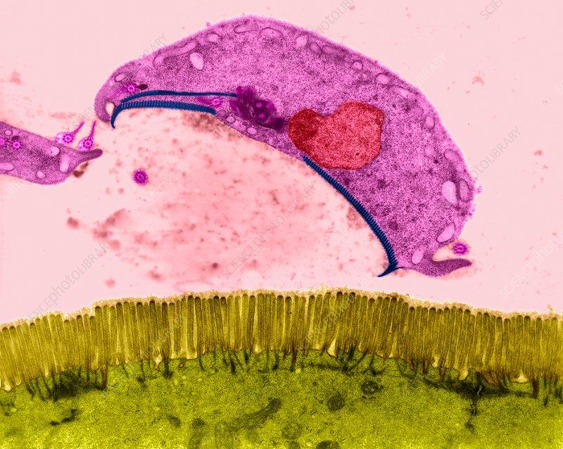 Protozoa giardia spp, A pinworm férgek továbbadva