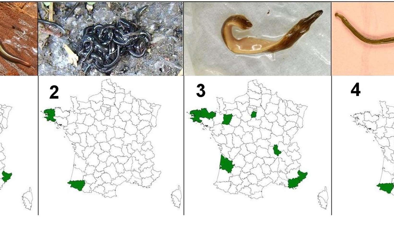A képen: a földigiliszta gyilkos platyhelminthes - Bolygó - 2020