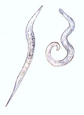 trichinosis invázió forrása)