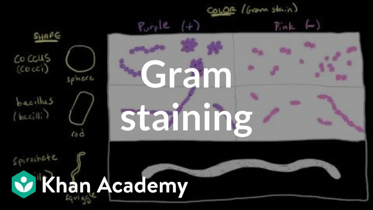 Gram-pozitív baktériumok