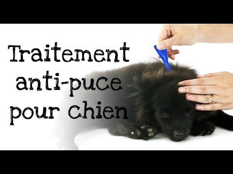 traiter les puces du chien