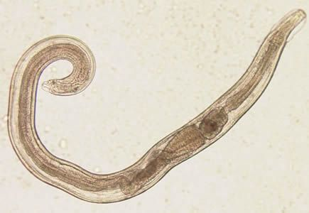 pinworms ezt