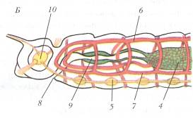 A szarvasmarha szalagféreg emésztőrendszerrel rendelkezik)