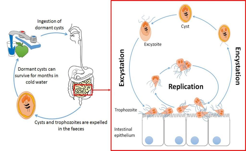 Giardiasis immune response - Navigációs menü