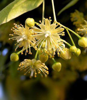 méregtelenítő gyógynövények