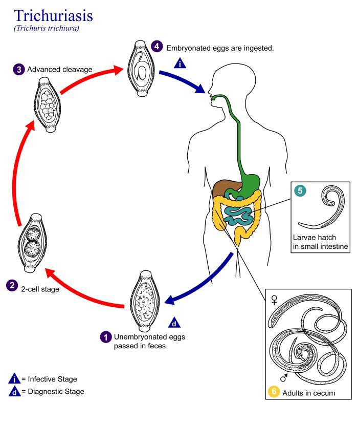 A diphyllobothriasis biohelminth