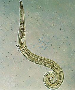 álcázott pinworms