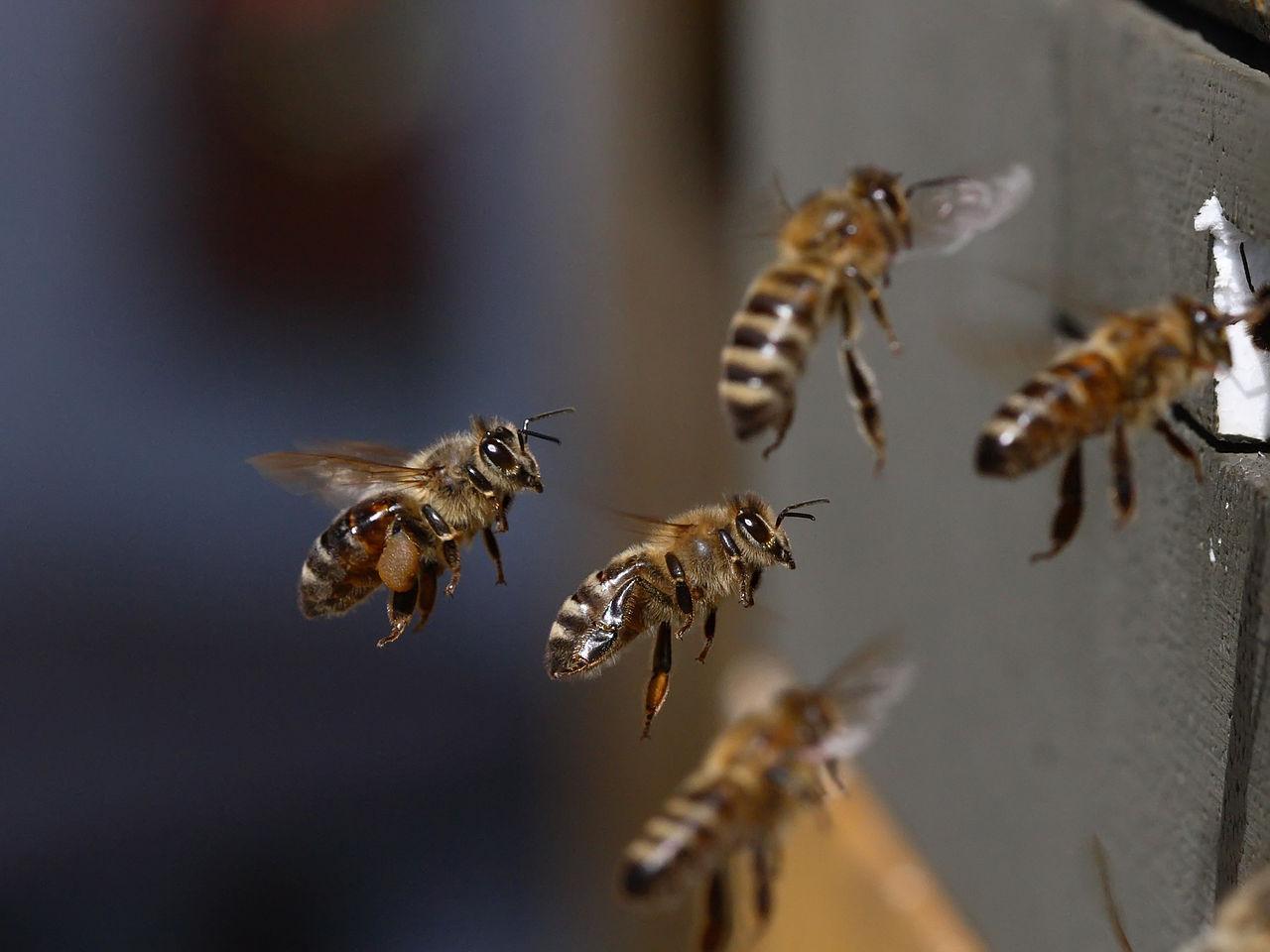 méh lehelet)