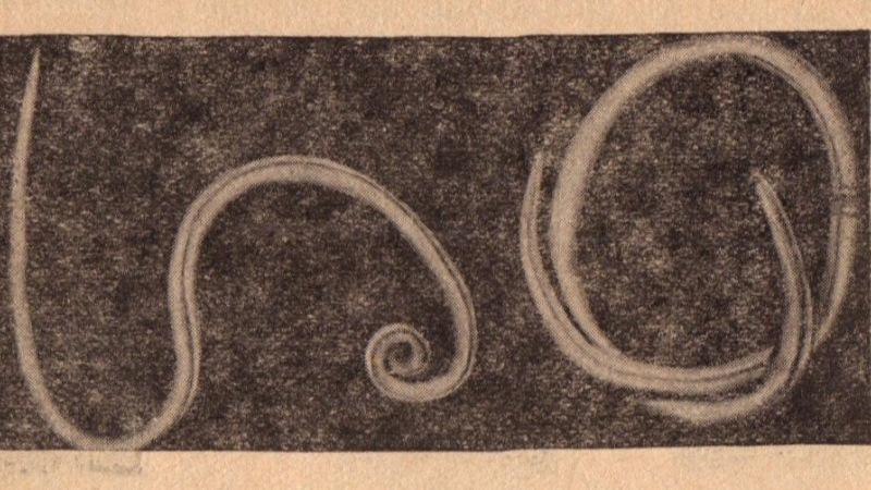 milyen hőmérsékleten elpusztulnak a pinworms)