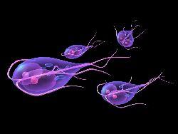 Giardia parazit,