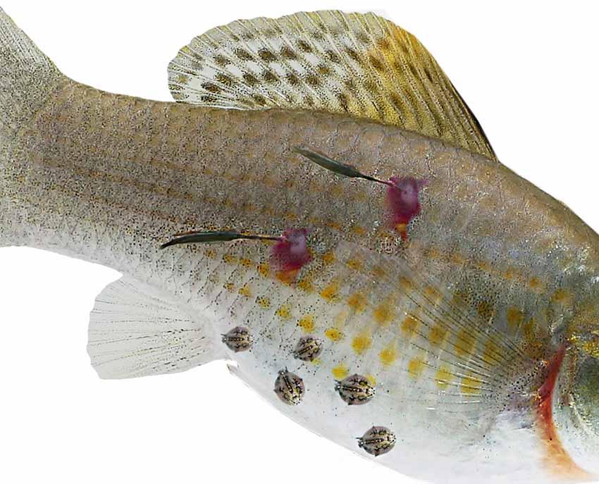 taxonómia helminthosporium oryzae nemi szemölcsök eltávolítása a tulában