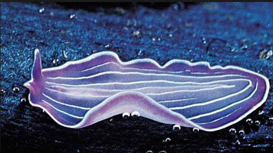 Platyhelminthes biológia. Laposférgek kültakarója és mozgása