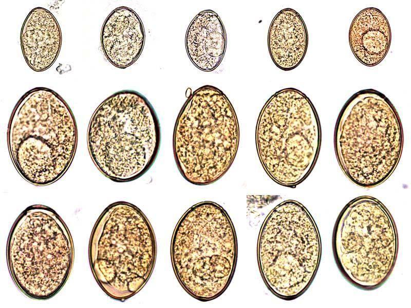 életképes helminth tojások