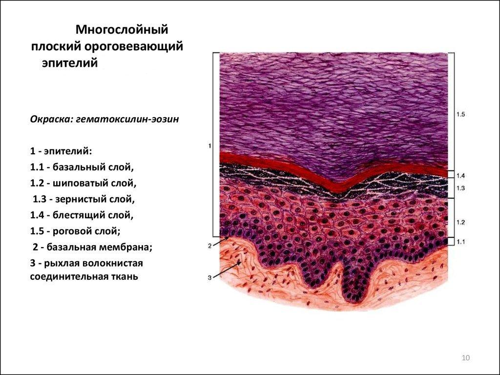 A vérképzés alakos elemeinek morfológiai vizsgálata