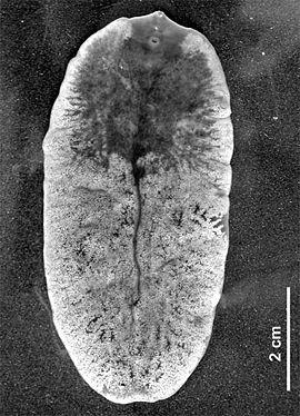 parazita platyhelminthes példák)
