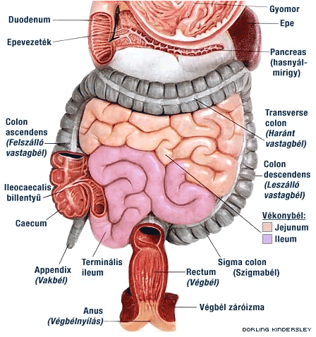 féregnyúlvány (appendix vermicularis) jelentése angolul » DictZone Magyar-Angol szótár