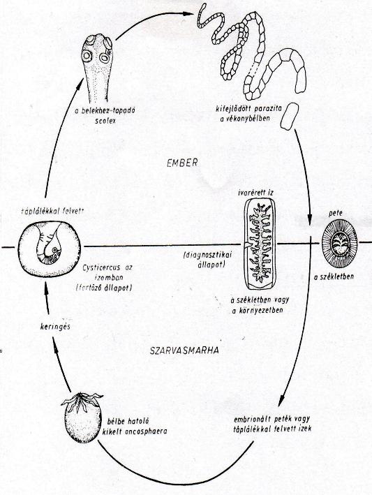 szarvasmarha szalagféreg jellemző