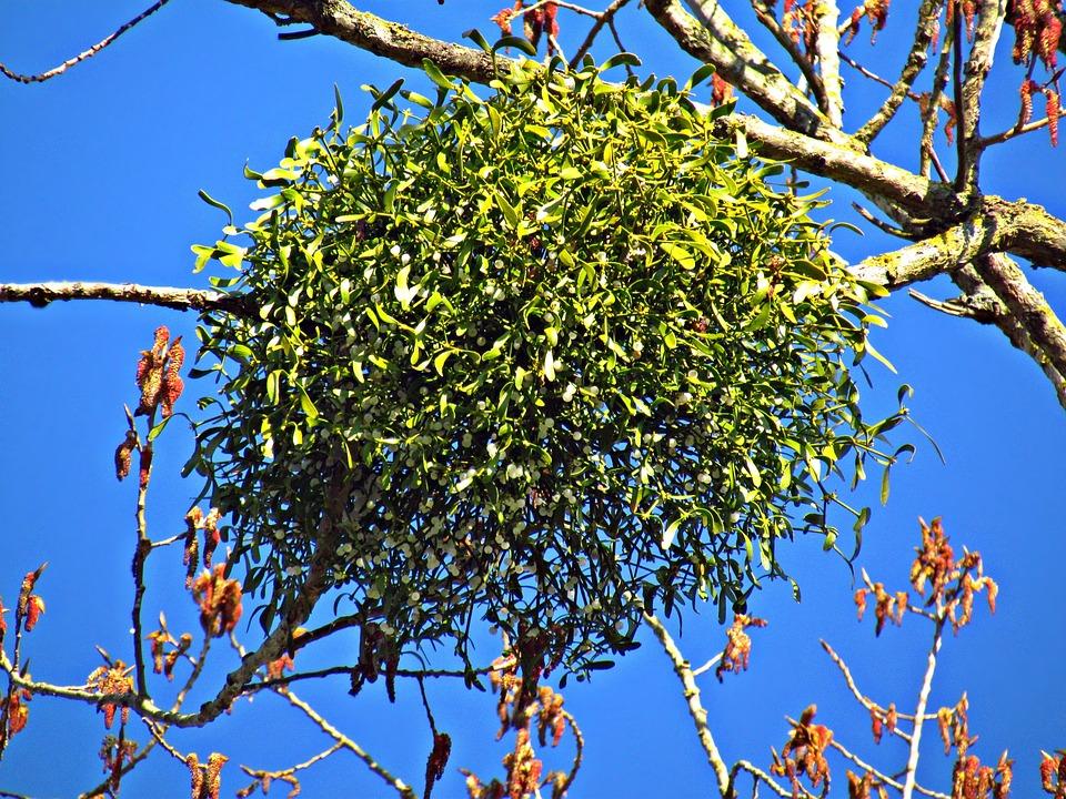 paraziták fán nőnek