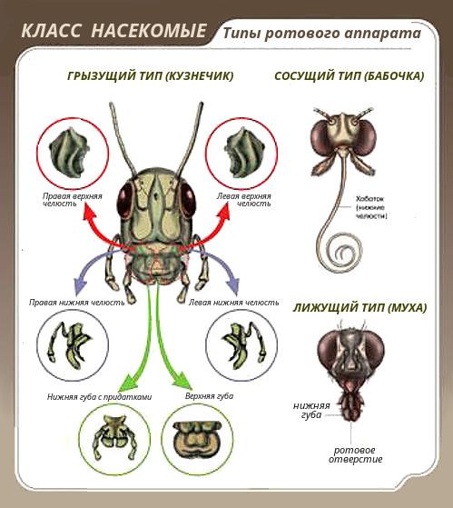 pinworms ábra