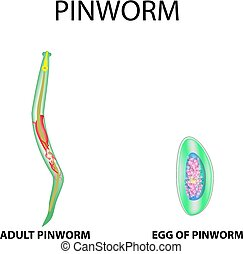 pinworms ábra)