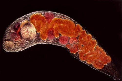 férgek által okozott vulvitis kezelése