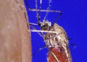 maláriás plazmodium makrogametocita hólyag gyulladás