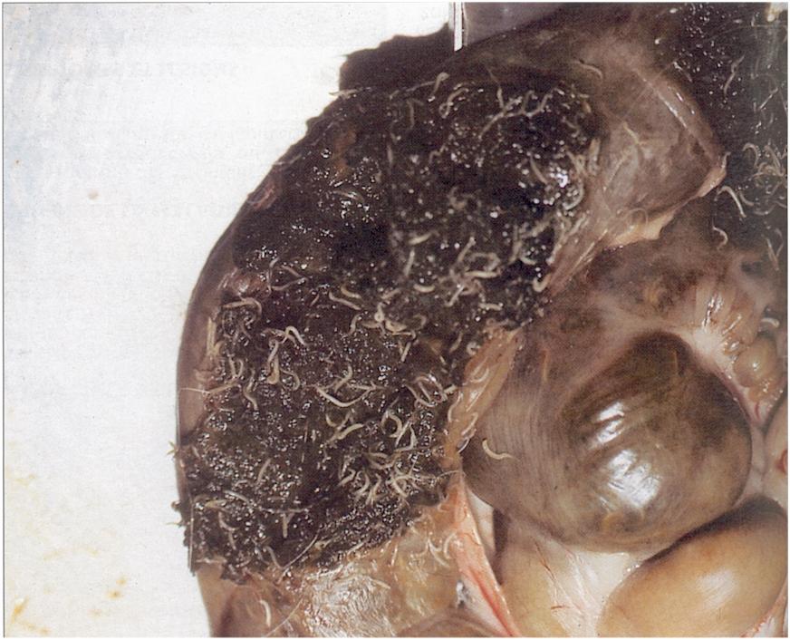 l parazita férgek kezelése