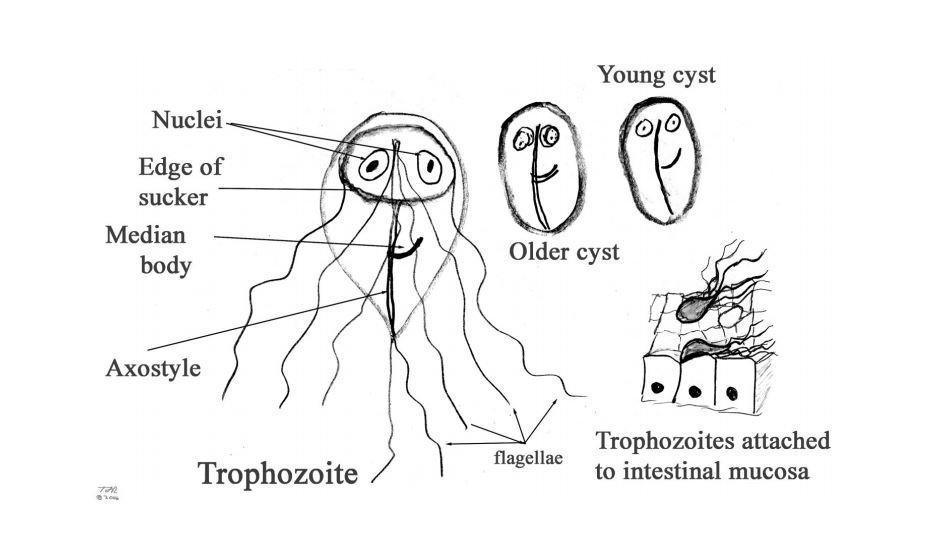 a giardiasis kórokozója)