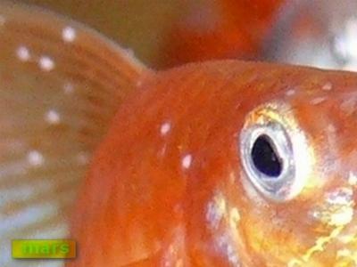 parazitákkal fertőzött halak hpv szemölcs fejbőr