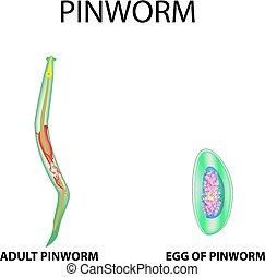 pinworms ábra)