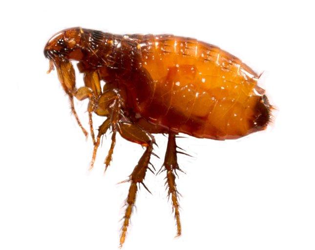 külső paraziták állatokban
