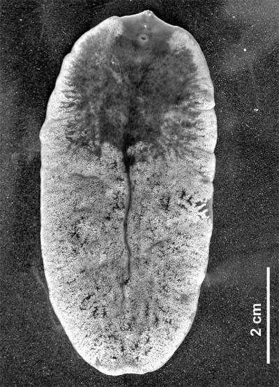 Paraziták a májban