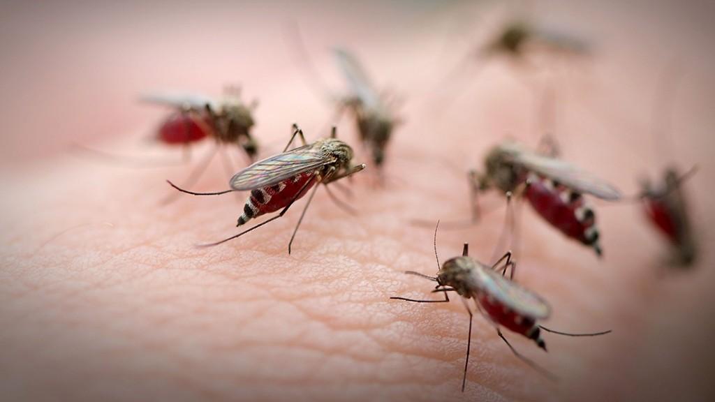 szúnyogok paraziták