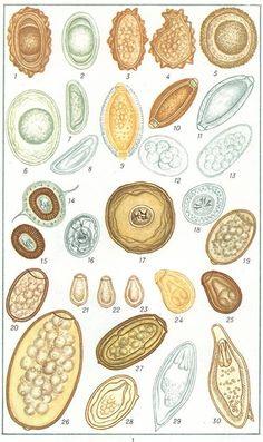 Széklet a pinworm tojásokon. Mi tűnik a pinworm tojások? Képek a lefektetett tojásokról