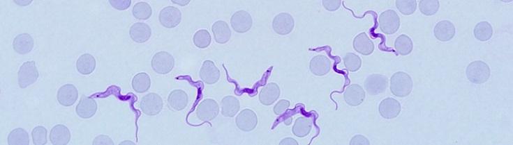 Plasmodium malária ivarsejtek)