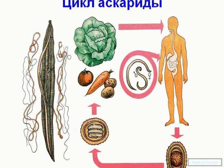 milyen típusú férgek vannak a békákban reproduksi dan peranan nemathelminthes