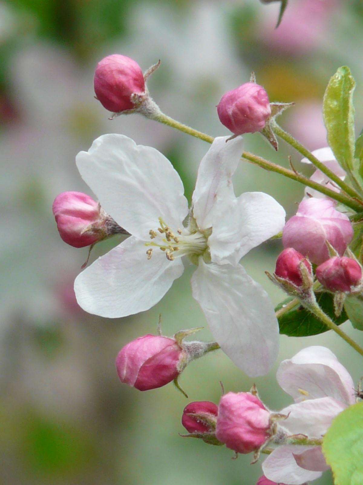 szaga a fehér virágzástól)