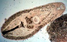 parazita platyhelminthes példák