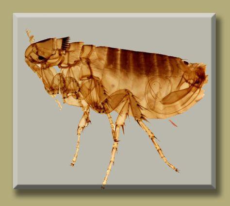 Pinworms milyen betegség Ostorféreg-fertőzés