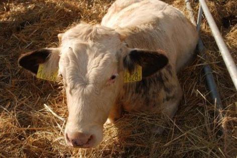 milyen betegség okozza a szarvasmarha féreg