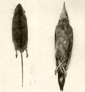 Az emberi test élősködőinek és gombáinak gyógyszerei, Trichuriasis