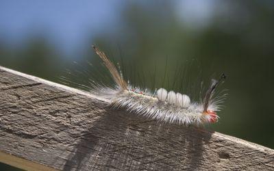 pinworms, mint a felnőtt orvostudományban