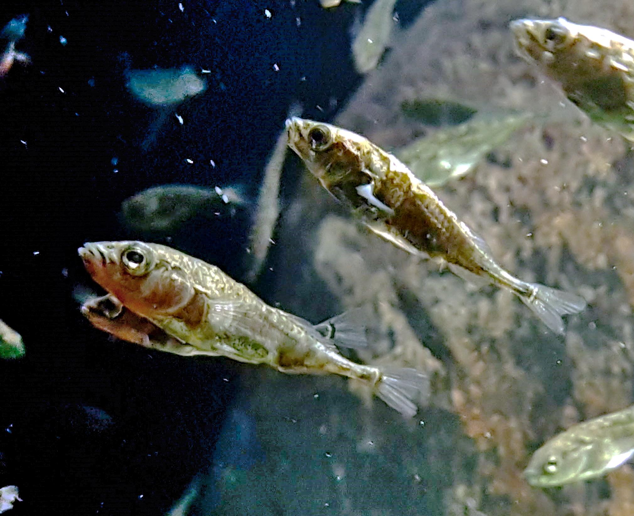 mely halaknak vannak több parazita
