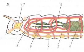 Az Ascaris kapcsolódási szervei)