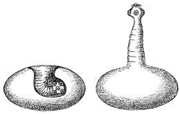 az ember szarvasmarha féreg növekedés boncolása parazitákkal