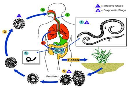 siklus hidup hewan nemathelminthes