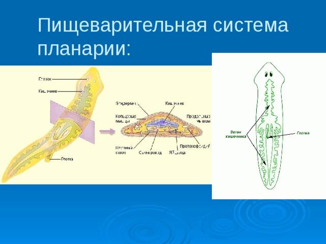 közbenső gazdaszervezet az uborka szalagféreg fejlődési ciklusában
