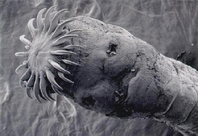 galandféreg larvajaval fertozott